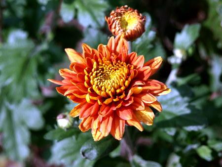 Crisanteme im Herbst Stock Photo - 65416840