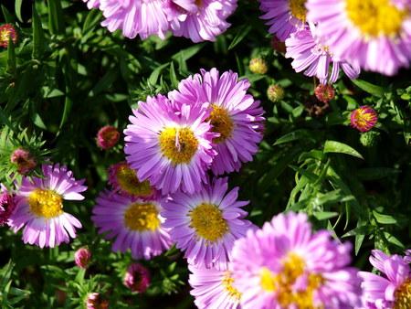 herbst: Winteraster  im Herbst Stock Photo