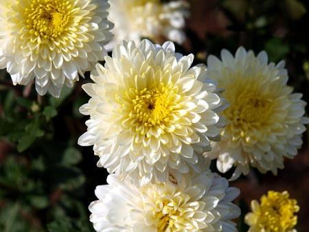herbst: Crisanteme im Herbst
