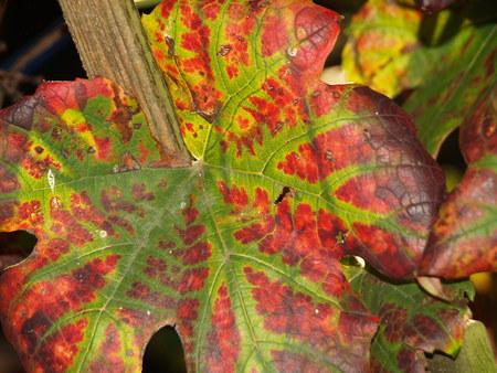 Herbstlaub Weinlaub