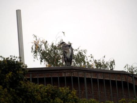 tier: Reiher auf dem Dach