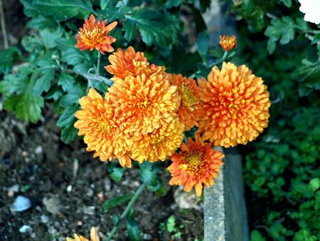 pflanze: Winteraster