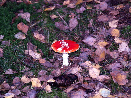 Toadstool in autumn forest