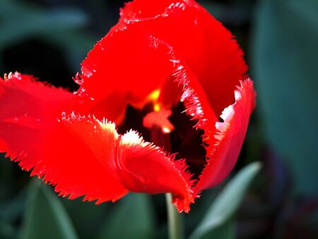 Tulip red fringed