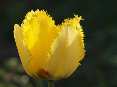 チューリップ、黄色 写真素材