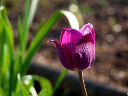 チューリップ、紫
