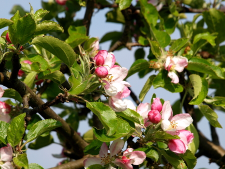 Apple blossom, fruit tree, spring, pink, white, green, nature, woods, Stock Photo