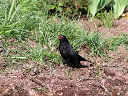 Male blackbirds, birds, feathers, fauna, nature, Foraging, Spring, Field, Garden,