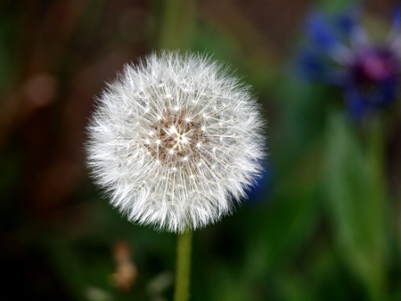 Dandelion, seeds, flower, plant, nature, spring, garden, meadow, summer,