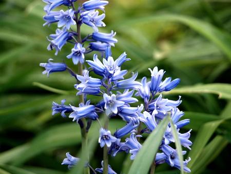 Hyacinth,