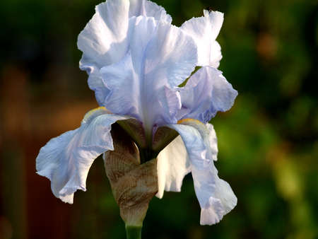 Iris,Blossom, spring, flower, nature, flora, light blue, delicate, garden, park,