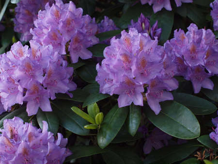 rhododendro Stock Photo