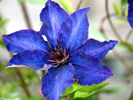 Clematis in blue