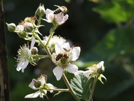 Bee on blackberry blossom Stock Photo