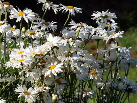 pflanzen: Mararitten,Blumen, Pflanzen, Natur, Garten, Sommer, Flora, Stock Photo
