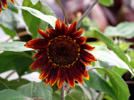 Sunflower, blossom, flower, nature, summer, kernels, petals, wine red, Stock Photo