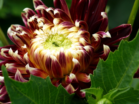 Big blossom Dahlia flower