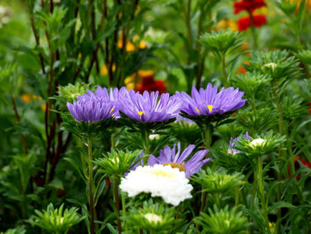 Asters, flowers, summer, flora, nature, natural, garden, park, plant, Stock Photo