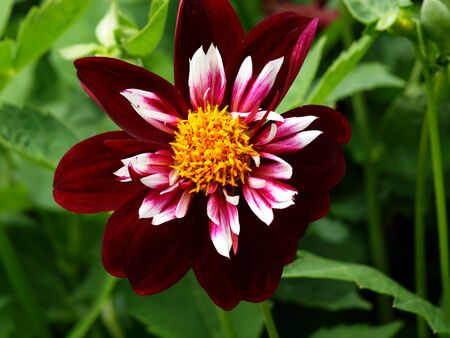 Mignon Dahlia, Flower, Flower Head, Plant, Nature, Summer, Garden, Park, Stock Photo