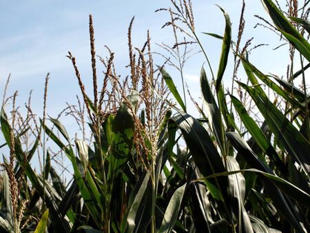 Corn, bloom, crop, flask, leaves, forage, cereal, field, nature, agriculture, agriculture, Stock Photo