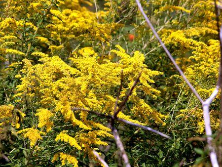 Goldenrod, Goldenrauten, Korbbl?tler, Flora, Plant, Nature, Flowers.Gelb,