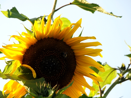 Sunflower, Flower, Flora, Nature, Flora, Golden Yellow, Sunflower, Bee, Insect,