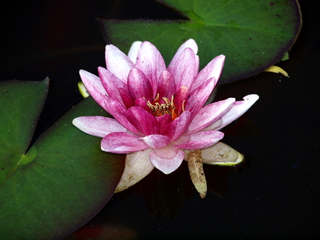 Water lily, nature, lake, pond, water, flora, pink, green,