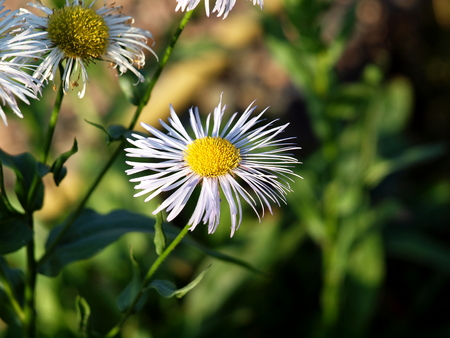 Winteraster, flowers, summer, garden ,, nature, flora, flowers, perennial,