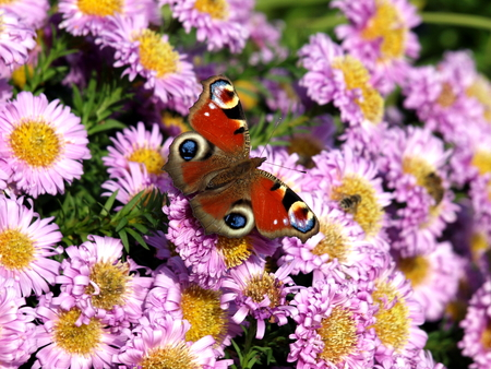 Peacock, butterfly, insect, moth, aster, flower, blossom, nature, autumn, Stock Photo