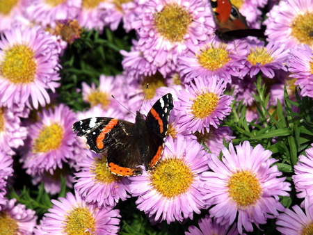 Admiral, Butterfly, Insect, Moth, Aster, Flower, Blossom, Nature, Autumn, Stock Photo