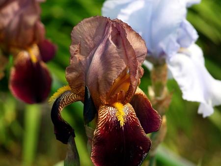 Schwertlilie bicolor