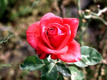 Rosenblüte rot
