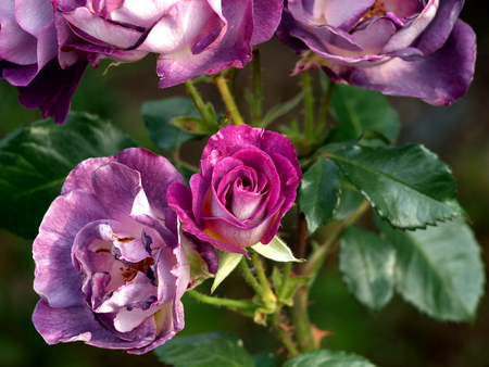 Rosebush purple
