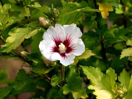 Roseneibisch Blüte