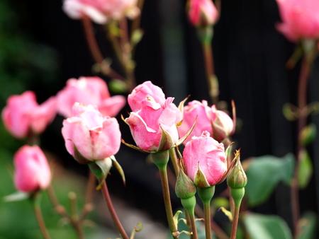 Rosenstrauch rosa
