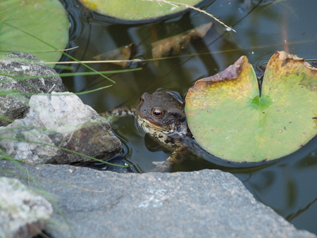 Toad in the water