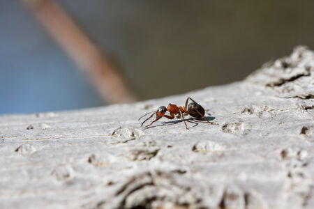 formicidae: Red ant (Formica rufa) walking on bark on a sunny day Stock Photo