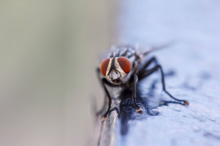 compound eyes: Close-up of a fly with red compound eyes