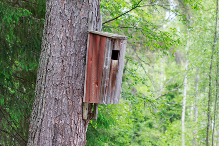 scots pine: Old birdhouse on a Scots pine, painted red Stock Photo