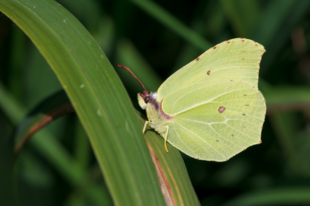 rhamni: One Common Brimstone Butterfly (Gonepteryx rhamni) in Sweden