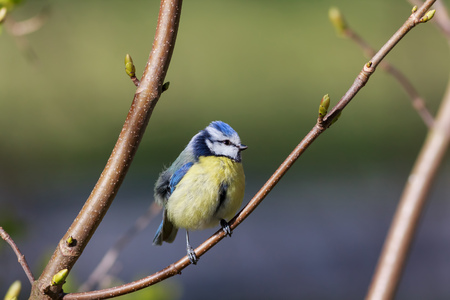 cyanistes: Eurasian blue tit (Cyanistes caeruleus or Parus caeruleus) sitting on a branch with a blurred  Stock Photo