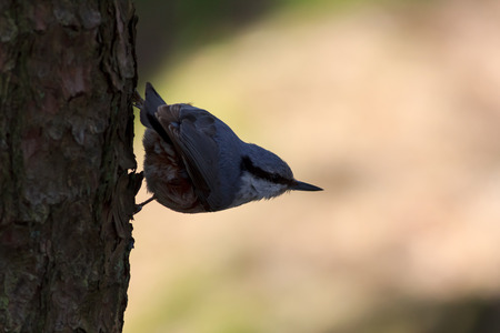 room for text: Eurasian nuthatch or wood nuthatch (Sitta europaea) sitting on a tree with a yellow blurred with room for text