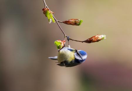 caeruleus: Eurasian blue tit (Cyanistes caeruleus or Parus caeruleus) hanging on a branch with a blurred background.