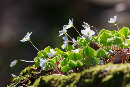 wood sorrel: Wood Sorrel or Common Wood Sorrel (Oxalis acetosella) with a blurred background and room for text