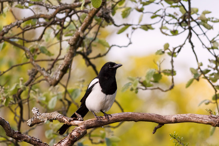 pica: Eurasian magpie European magpie or common magpie Pica pica sitting on a branch with a blurred yellow background. Stock Photo