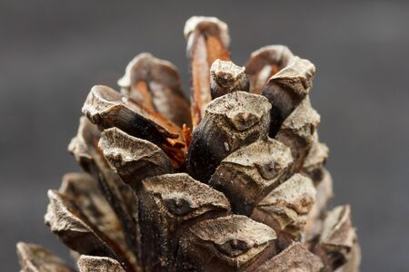 scots pine: Closeup of a brown cone from a scots pine Pinus sylvestris against a gray background Stock Photo