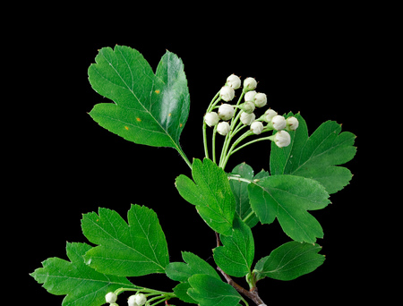 crataegus: Close up of a branch of Crataegus commonly called hawthorn thornapple Maytree whitethorn or hawberry with buds isolated on black Stock Photo