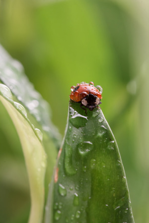 coccinellidae: Ladybug Coccinellidae  with water drops sitting on a leaf