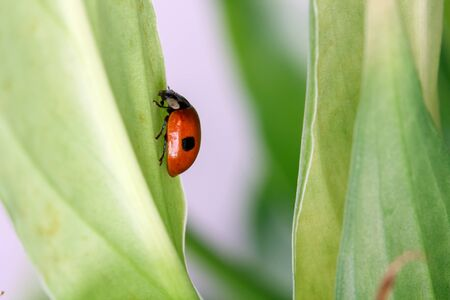 lady beetle: Ladybug Coccinellidae  with two dots sitting on a leaf