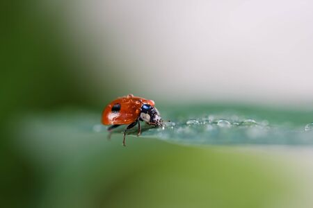 lady beetle: Ladybug Coccinellidae  with water drops sitting on a leaf